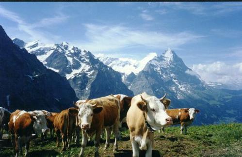 アルプス 乳牛