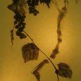 水墨画 葡萄 - Grape -